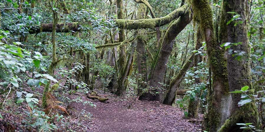 La-Gomera-Forest-canariaways.com