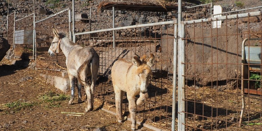 Donkeys-at-Teide-canariaways.com